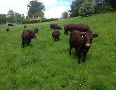 Find out more about our herd of pedigree Sussex cattle