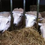 sheep resize